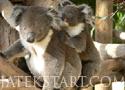Austrailian Koala Bears Játékok