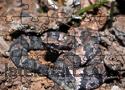 Cottonmouth Jigsaw Játékok